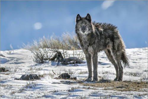 Holzbild 180 x 120 cm: EIN einsames Mitglied der Phantom Springs Wolf Pack Steht im Grand Teton National Park von Charlie Hamilton James/National Geographic