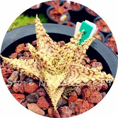 50 Pcs Aloe Vera Graines Beauté comestibles cosmétiques colorés Bonsai Cactus Succulentes Plantes Fleurs Légumes Fruits Graines Pour Balcon 8