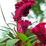 Pinkdose Bunte Pteris Hahnenkamm Samen Bonsai Blumensamen Topfpflanzen für DIY & amp; Garten 100...