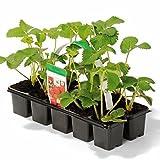 Grüner Garten Shop Erdbeere Sorte Mara des Bois ® Erdbeerpflanze mit Waldbeerenaroma mehrfachtragend 10er Tray