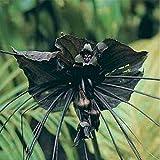 Portal Cool Flower - Fledermausblume - Bat Plant - 25 Samen - große Packet