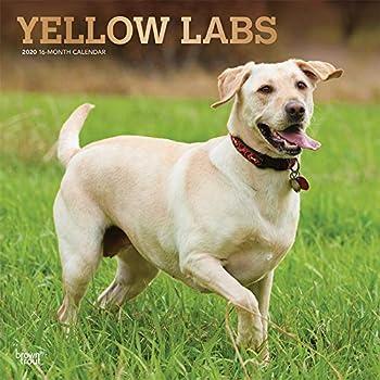 Yellow Labrador Retrievers 2020 Calendar: Foil Stamped Cover