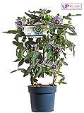 Blumen-Senf Winterharte Passionsblume Passiflora caerulea 'Duuk'/65 cm/Topf Ø 15 cm/exotische Schönheit/Kletterpflanze