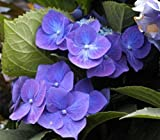 Tellerhortensie Blue Bird - Schirmhortensie - Hydrangea serrata Blue Bird Preis nach Größe 30-40 cm