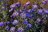 Spanisches Gänseblümchen 50 Samen, Blütenmeer, Erigeron ''Fairy Azure Schöne, himmelblauen Blüten