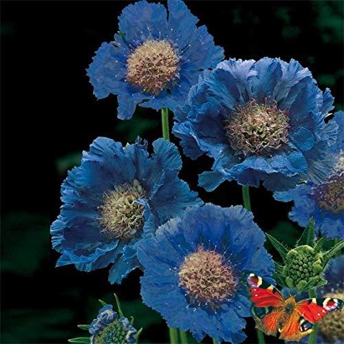 Qulista Samenhaus - Rarität Mix Scabiose Witwenblume Duftet honigsüß, Blüht von Juni bis September, Wildstaude Blumensamen Mischung Saatgut mehrjährig winterhart