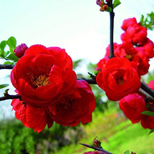 Portal Cool Kaufen, 3 2 Free Double Red Herbstaussaat Begonia Blume 30 Stück Samt Bonsai -