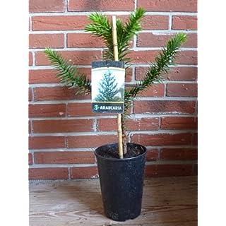 Andentanne 60cm+/- Chilenische Schmucktanne Araucaria araucana Affenschaukel
