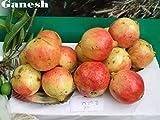 Portal Cool Varietà di frutta rari * Ganesh melograno * 5 Rare semi freschi