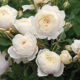 'Claire Austin' -R-, Englische Rose, A-Qualität Wurzelware