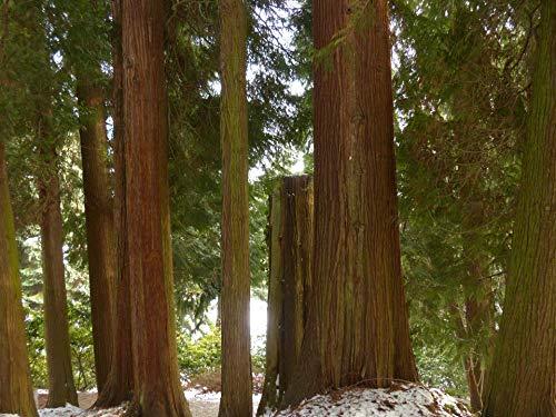 Riesenlebensbaum Thuja plicata 200 Samen
