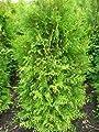 Brabant Lebensbaum Thuja occidentalis Brabant 80 - 100 cm hoch im 5 Liter Pflanzcontainer von Plantenwelt - Du und dein Garten