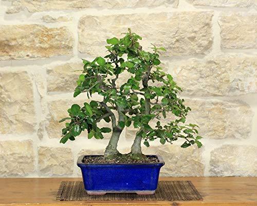 bonsai di quercia - leccio (33)