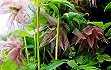 Clematis, Waldrebe 'Markhams Pink' - Im 2lt. Topf, Höhe 60-100cm, mit 3 Bambus gestäbt (2er-Set)