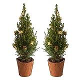 BOTANICLY | Weihnachtsbaum | Zuckerhutfichte in Naturholz Topf mit goldener Dekoration | 65 cm | Set aus 2 Weihnachtsbäumen