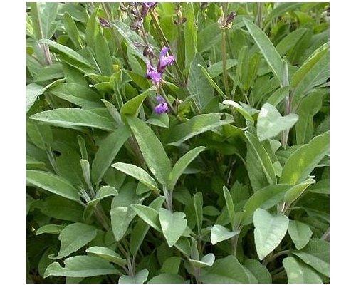 Salbei Zubehör (Salbei Broad Leaved - Salvia officinalis - 50 Samen)