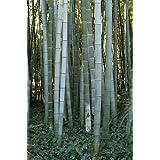 Phyllostachys pubescens - bambú de Moso - 100 semillas