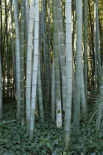 Phyllostachys pubescens – Moso Bambus – 30 Samen