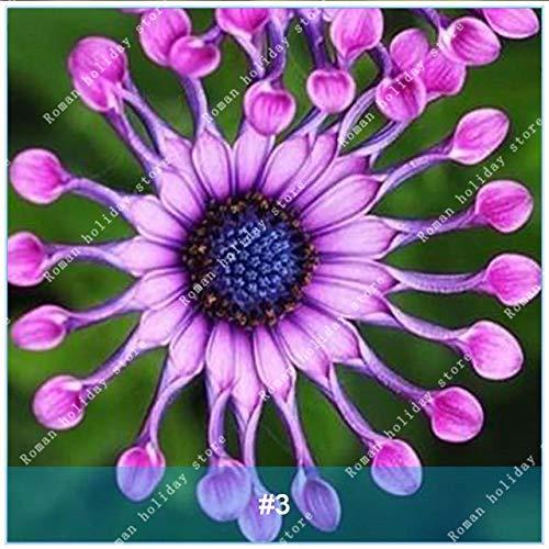 Galleria fotografica Go Garden Zlking 100 Pz Osteospermum Bonsai Alto tasso di germinazione Cape Daisy Facile da coltivare Pianta da fiore sudafricana: 3