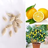 Rosepoem 10pcs Rari Semi Lemon Tree Innen Außen Garten Heirloom Obstpflanze