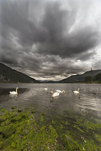 John Short/Design Pics - Swans Swimming in The Water of Loch etive;Bonawe Argyle and bute Scotland Photo Print (60,96 x 96,52 cm) - Argyle Shorts