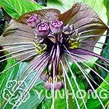 Seeds: * 10pcs seltene Schwarze Fledermaus Blume Fledermausblume Cat & # 39; s Whiskers il Blumen Bonsai Blumen Bonsai New Arrl! : 4