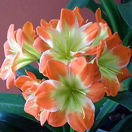 Cioler Seme di fiore- 50Pcs Semi perenni di Clivia, Semi di bonsai da giardino con semi di clivia Semi di bulbi di giglio