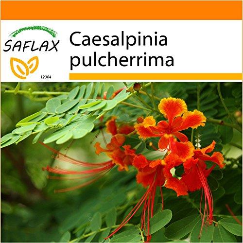 Galleria fotografica SAFLAX - Garden in the Bag - Orgoglio delle Barbados - 10 semi - Caesalpinia pulcherrima