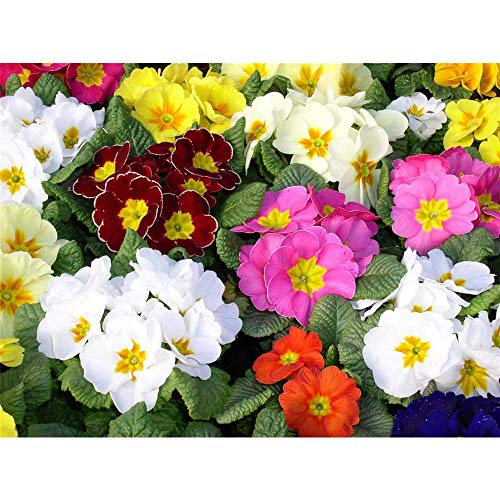 Primel acaulis, Mix Set - Frühlingsboten im Farbmix, Kissen-Primel, Primula vulgaris, im Topf 11 cm - Variante: 12 Töpfe a 11 cm