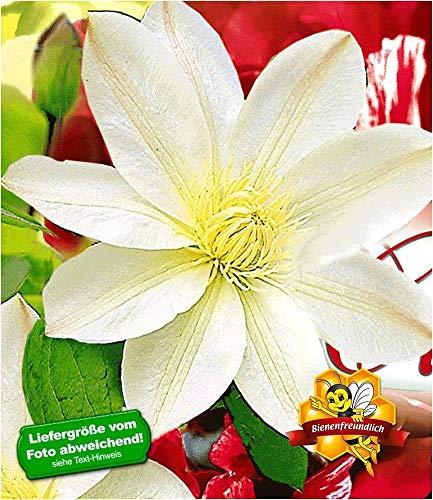 BALDUR-Garten Waldrebe Clematis 'Madame Le Coultre' winterhart, 1 Pflanze Klematis mehrjährige...