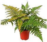 Rotschleierfarn - Dryopteris erythrosora- winterharter, wintergrüner, Farn 12 cm Topf als Kübelpflanze Balkonpflanze, Schattenpflanze Beetpflanze