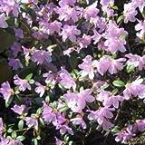 Rhododendron Dwarf Praecox Evergreen Bears violet-purple flowers grown in 9 cm pot shrub evergreen