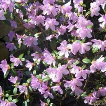 rhododendron-dwarf-praecox-evergreen-bears-violet-purple-flowers-grown-in-9-cm-pot-shrub-evergreen