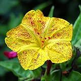 Quatre O'Clock Fleur Mélange de graines?Mirabilis Jalapa -
