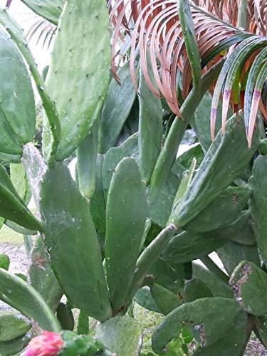 Portal Cool Pflanzen Opuntia Nopales 1 Pad Essbare Kalte Winterharte, Trockenresistente Reptilienfutter