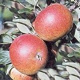 Apfelbaum Cox Orange Renette Apfel Cox Orange Renette - Malus Cox Orange Renette Containerware / 120-160 cm hoch,