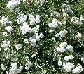 Bodendeckerrosen 'Sea Foam' - Rosa 'Sea Foam' Qualität A, ab 2 Triebe von Gartengruen24 auf Du und dein Garten