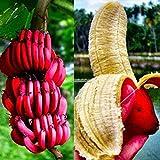 Plantree 40 Stücke Rote Banane Samen Köstliche Seltene Fruchtsamen Organischer Bananenbaum B98B 02