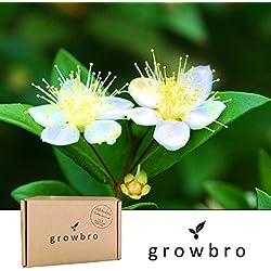 growbro | Myrte | Anzuchtset | Geburtstagsgeschenk für Frauen, Geschenke für Frauen, Geschenke für Männer, Geburtstagsgeschenk für Männer, Geschenk Hochzeit, Bonsai fähig