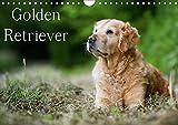 Golden Retriever (Wandkalender 2018 DIN A4 quer): 13 schöne Golden Retriever-Portraits für das ganze Jahr (Monatskalender, 14 Seiten) (CALVENDO Tiere) [Kalender] [Apr 01, 2017] Noack, Nicole