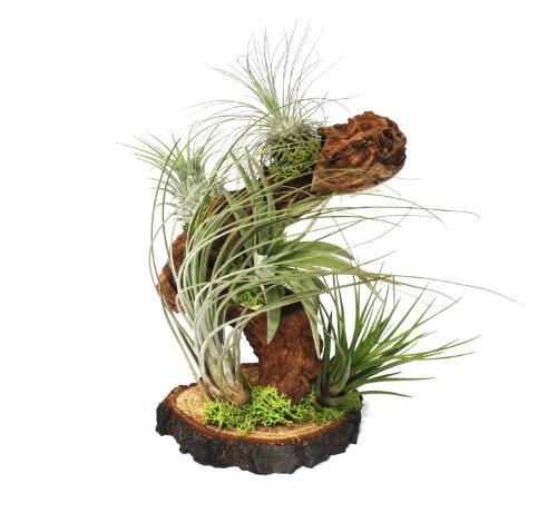 Tillandsien auf Wurzelbaum - gross - 5 Pflanzen