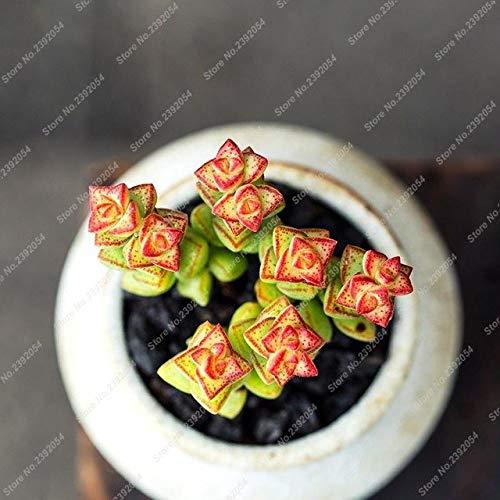 100 Teile/beutel Sukkulenten Samen Seltene Lithops Samen Blumensamen Echeveria Samen Topf Samen Für Hausgarten: Mehrfarbige (Samen Echeveria)