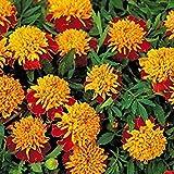 Zoomy Far: SEMI MARI NANA Patula fiore rosso (AVG 50-100) SEMI X 6 confezione