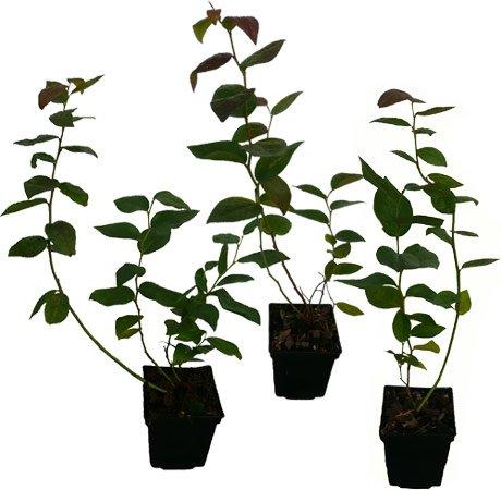 4 x Heidelbeeren Pflanzen - verschiedene Sorten - Blaubeeren Set mit langer Erntezeit von Juli bis Oktober