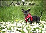 Prager Rattler (Wandkalender 2020 DIN A4 quer): Kleiner Hund mit ganz viel Herz (Monatskalender, 14 Seiten ) (CALVENDO Tiere)