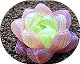 300 SEEDS - 100% echtes Essen Cordyceps muscipula Riesen Venus Flytrap Samen Fleisch fressende Pflanzen-Samen Clip