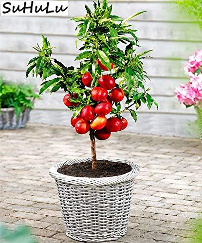 Pinkdose 5 Stücke China Süße Frucht Pfirsich Zwerg Nektarine Bonsai Outdoor Baum Staude Für Hausgarten Pflanzen Geschenk Fußballplatz Gewidmet