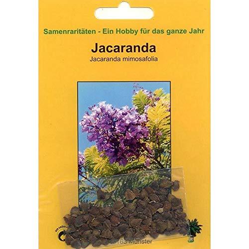 Bonsai – 50 Samen Jacaranda mimosafolia, Jacaranda, 90032