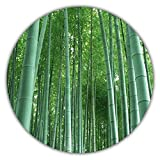 Riesenbambus - Moso Bambus - ca. 50 Samen - schnelles Wachstum - winterharte Pflanze - Gartenpflanze