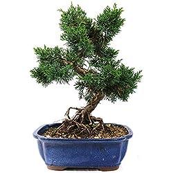 Chinesischer Wacholder, Juniperus chinensis, Outdoor-Bonsai, 19 Jahre, Höhe 30 cm